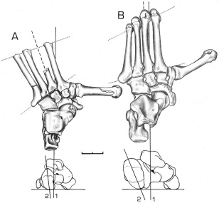 oreopithecus foot